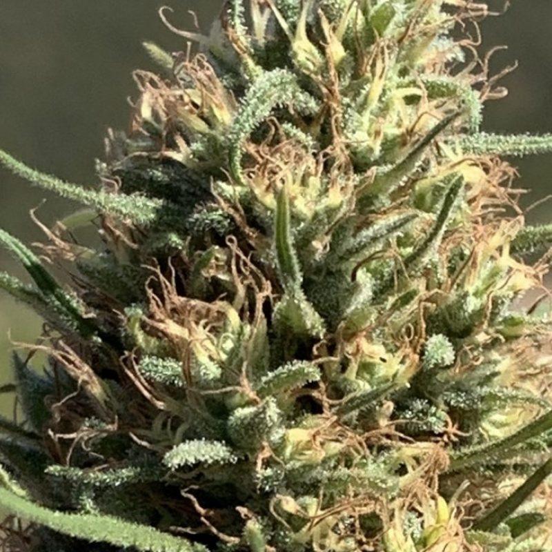 applejack-cbd-hemp-seeds-Bpic