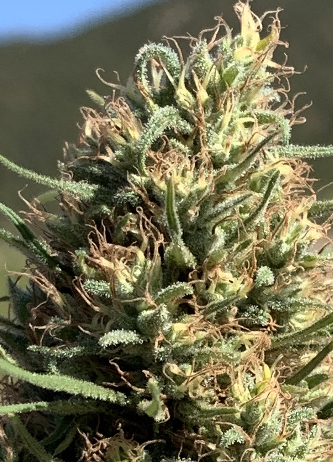 applejack-cbd-hemp-seeds-Bpic