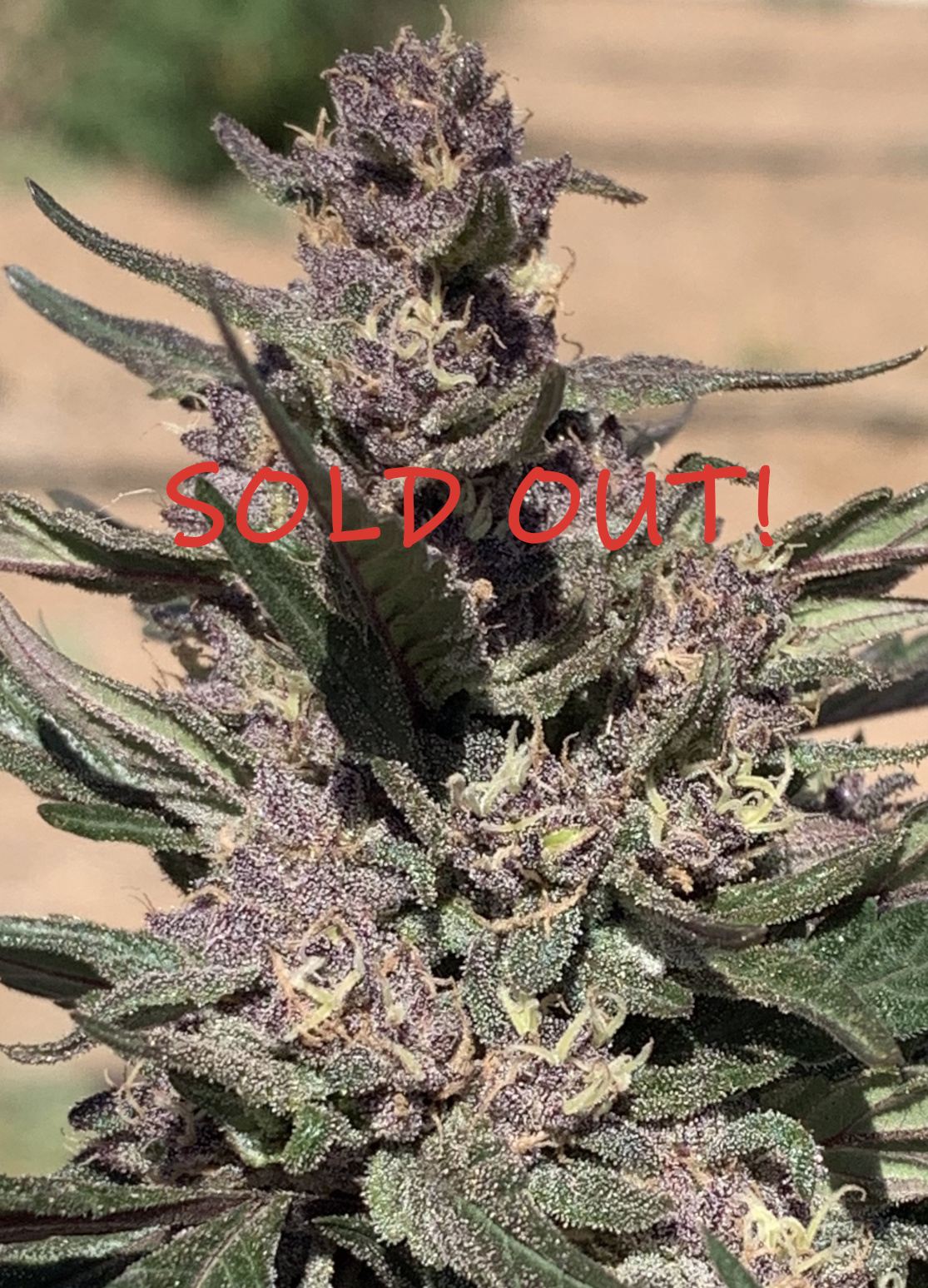 sugarplum-cbd-hemp-seeds-AbpicSOLD